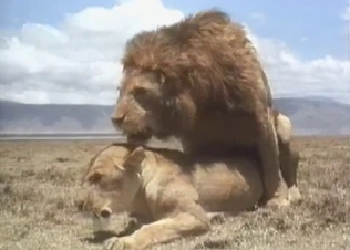 Brutal lion fucked a sexy lioness from behind