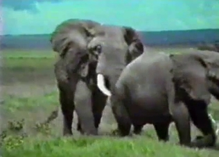 Two gigantic elephants fuck in the doggy style pose